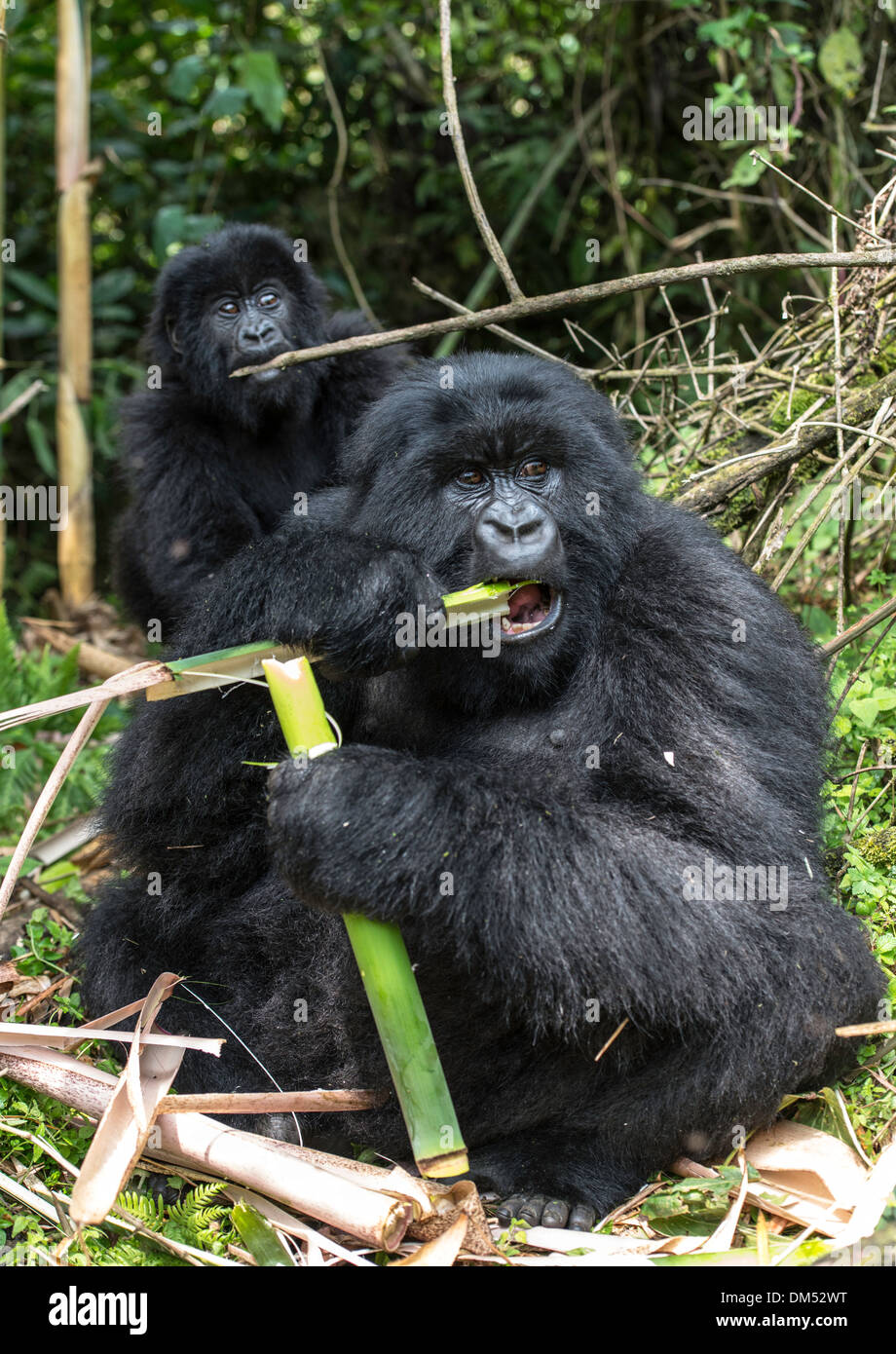 Mountain Gorilla Beringei Beringei Volcanoes National Park Rwanda Africa - Stock Image