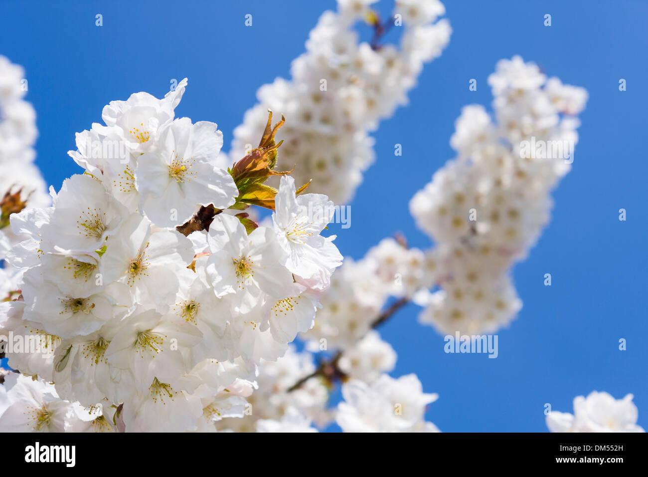 White cherry blossom Rosaceae Prunus, 'Shirotae', set against a deep blue spring sky. - Stock Image