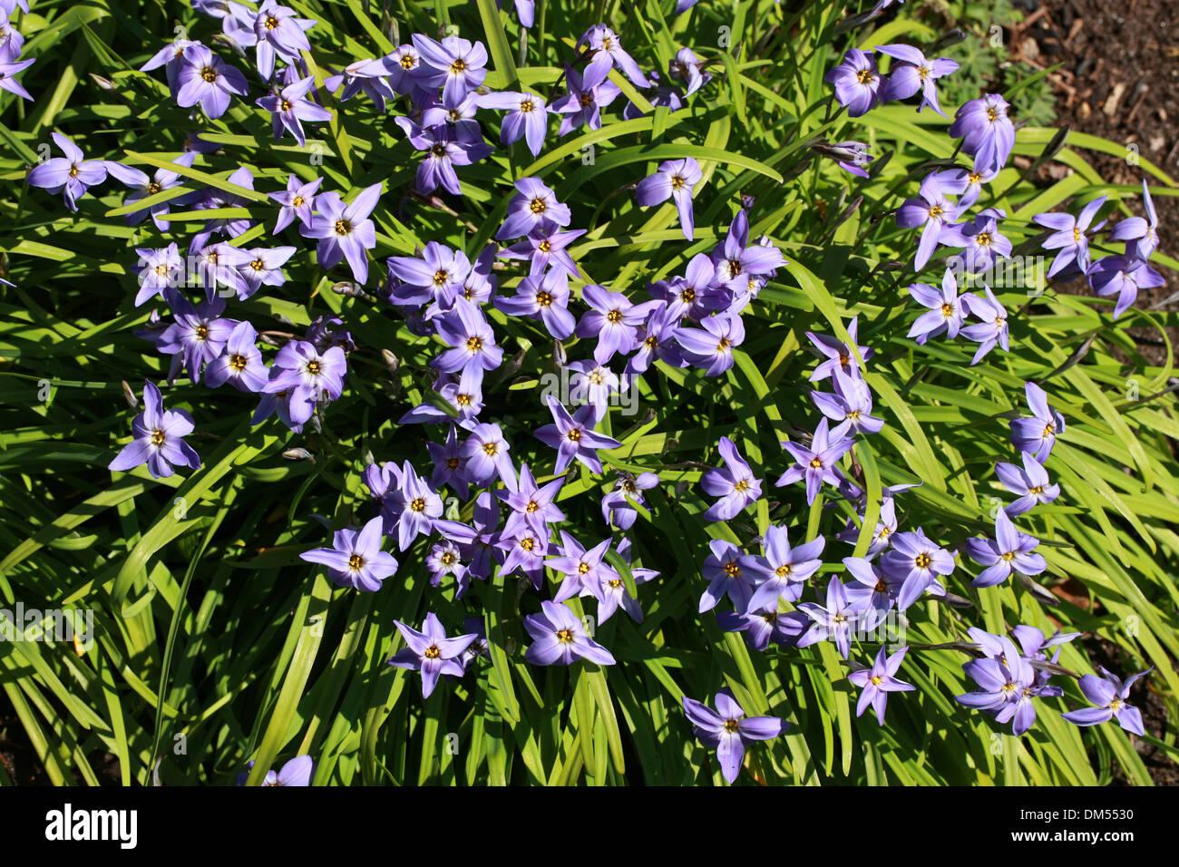 Spring Starflower Ipheion Uniflorum Alliaceae Amaryllidaceae