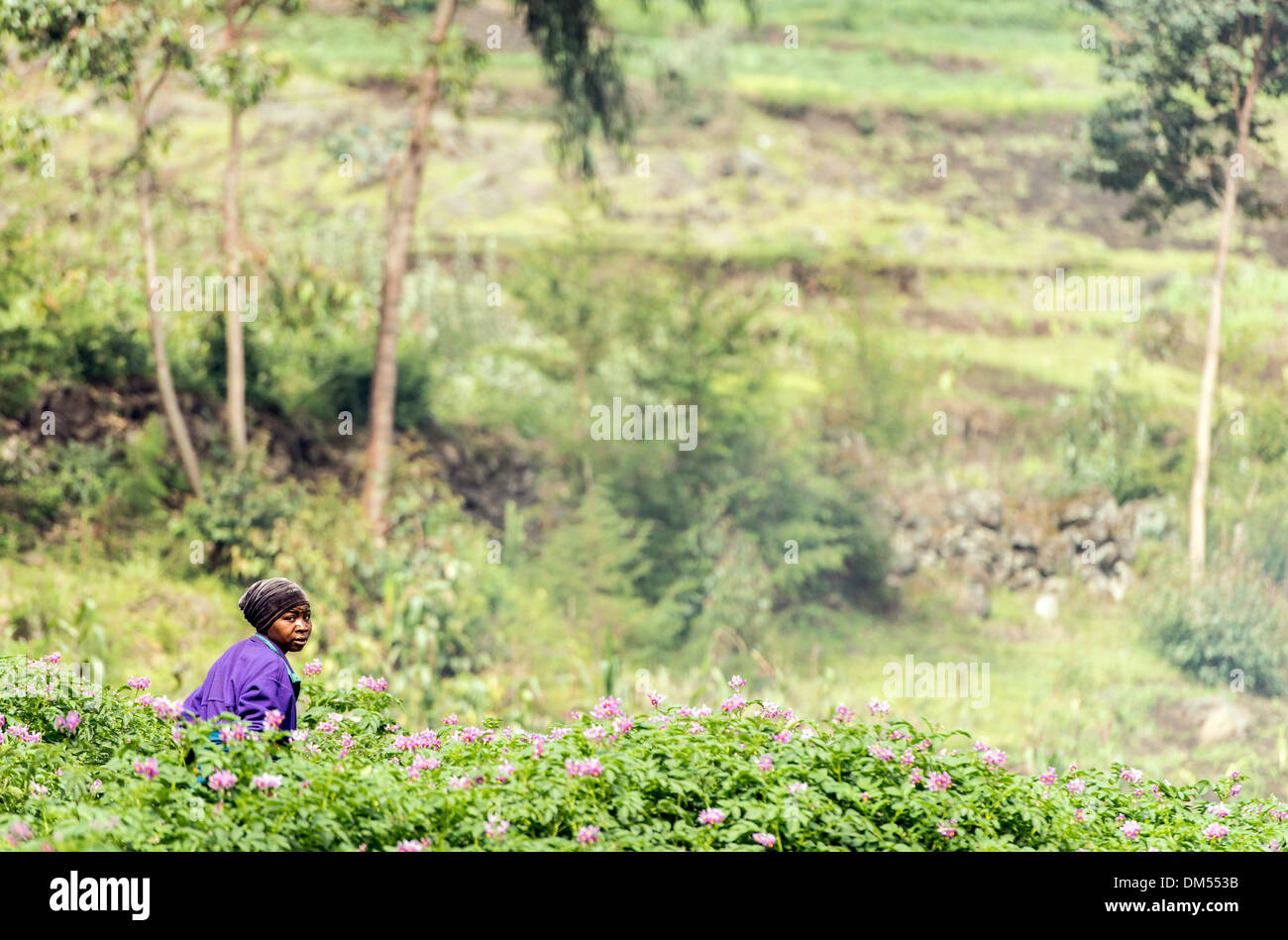 Woman working in the fields Volcanoes National Park Rwanda Africa - Stock Image