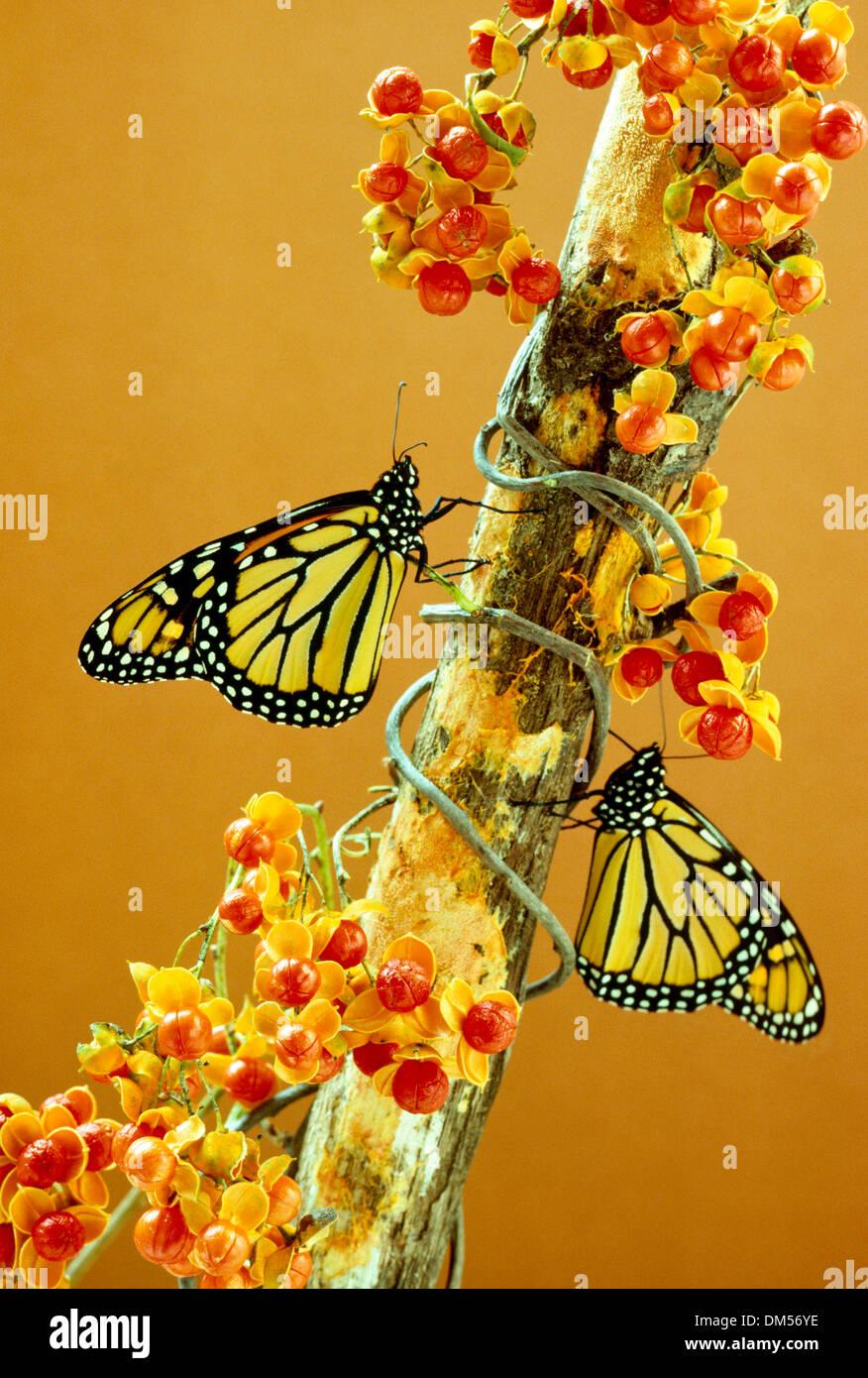 Two monarch butterflies, Danaus plexippus, perch on bough of bittersweet, Celastrus scandens with full berries - Stock Image