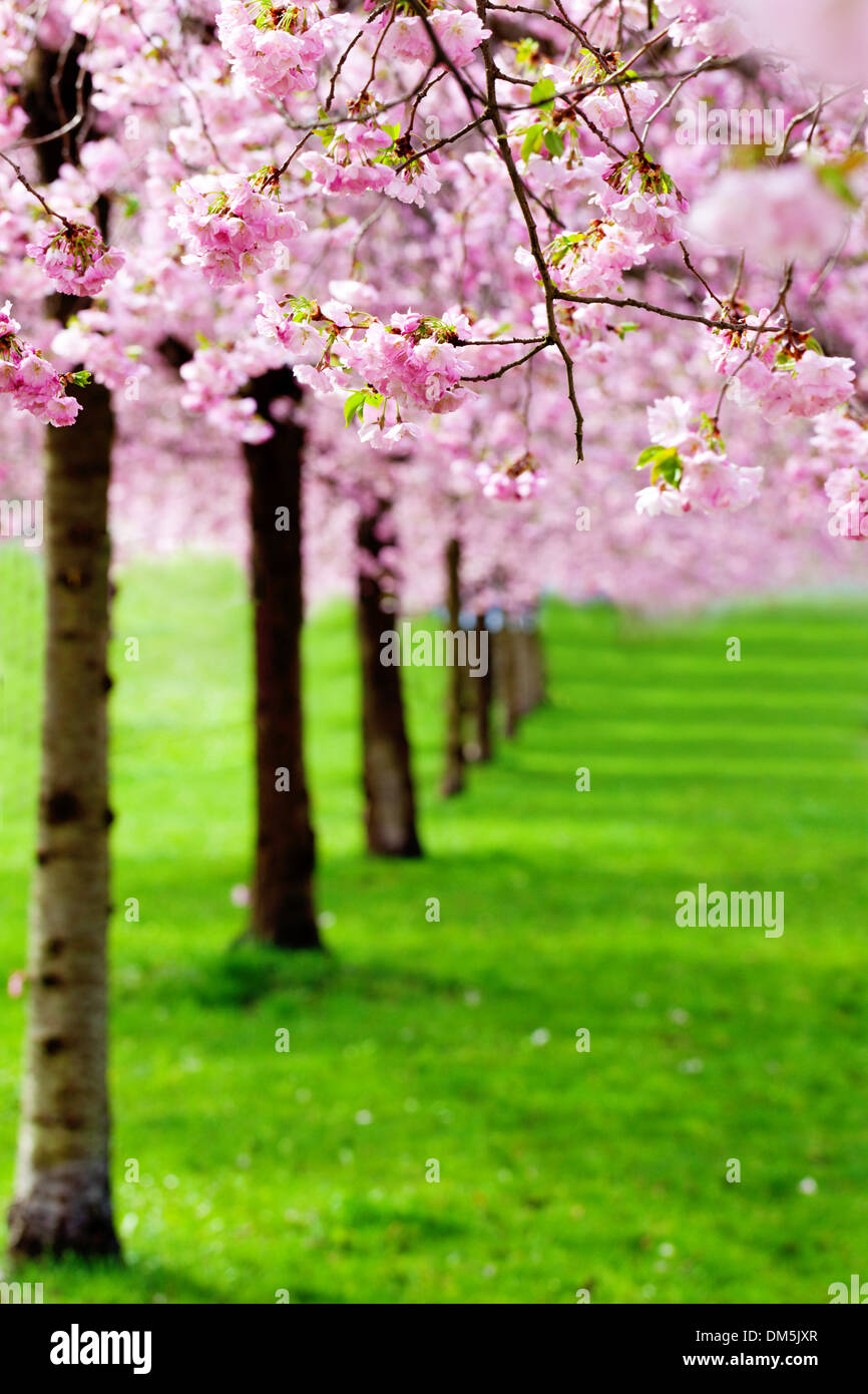 flowering cherry, sakura trees - Stock Image