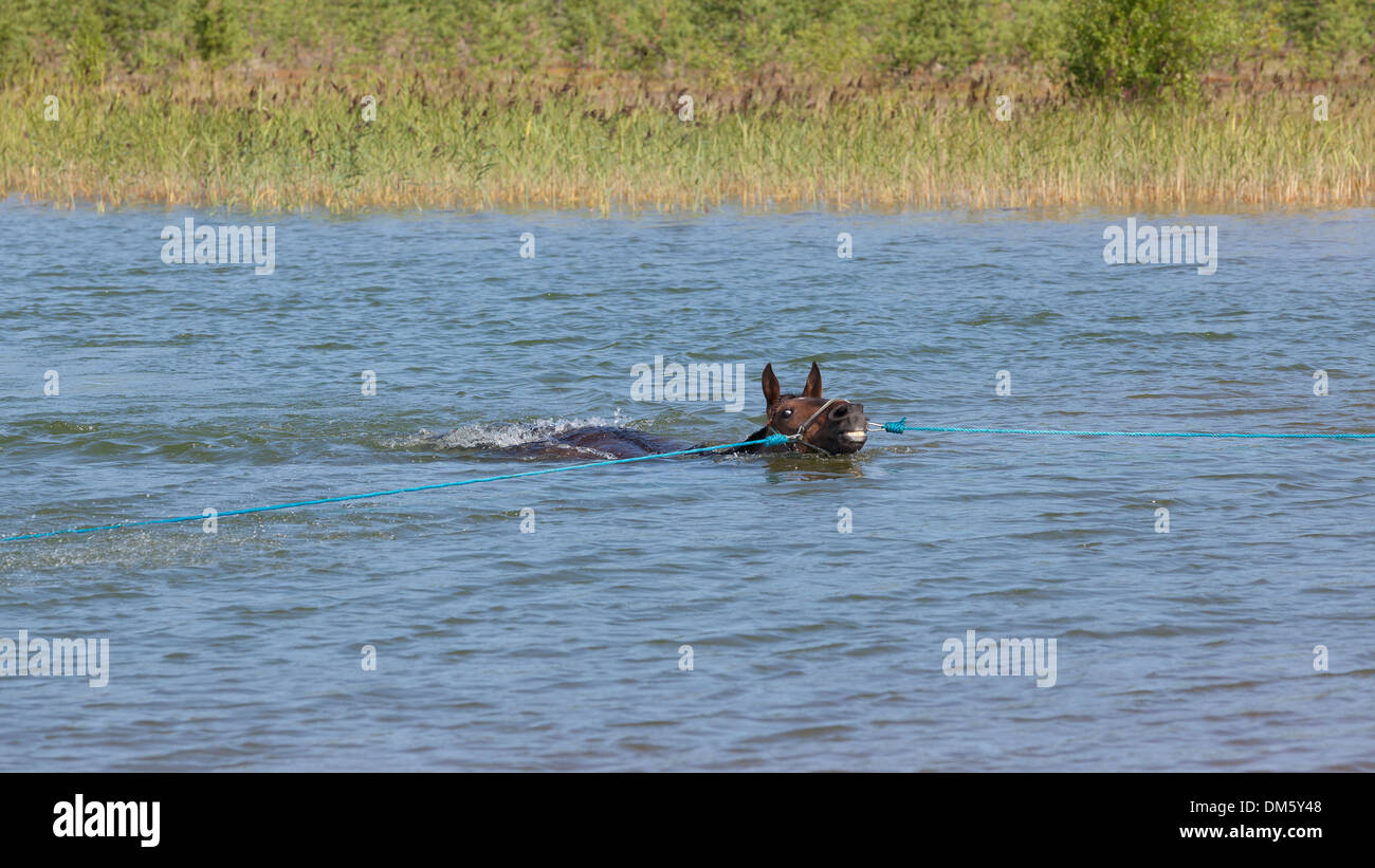 Brown  warm-blooded horse trotter is swimming on summer in a pond. - Stock Image