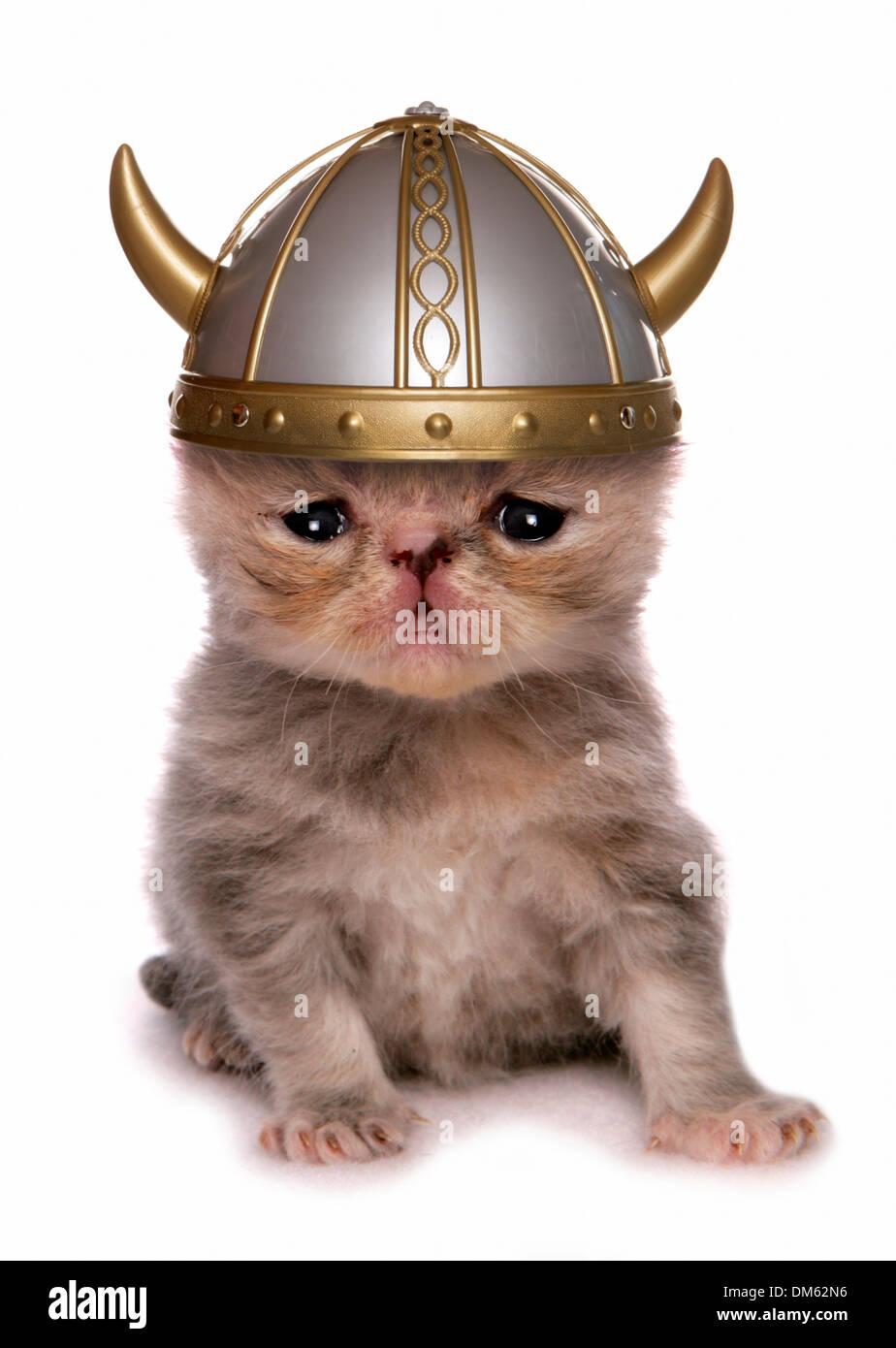 Exotic Shorthair Cat  Kitten wearing viking helmet  Studio
