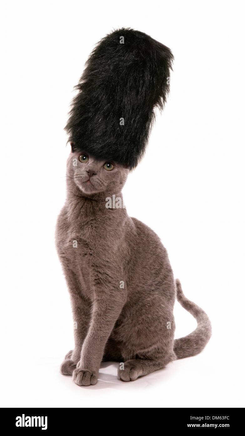 Russian Blue Kitten Wearing London Guards Bearskin Hat Studio