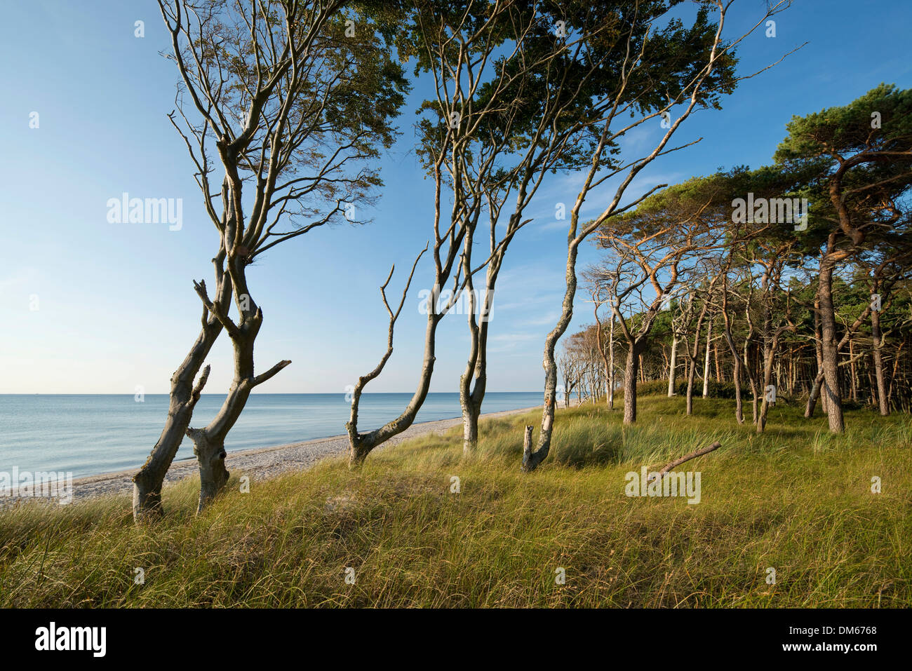 Wind-bent beeches (Fagus sylvatica) and pines (Pinus sylvestris), Weststrand beach, Baltic Sea, Darss, Western Pomerania Lagoon - Stock Image