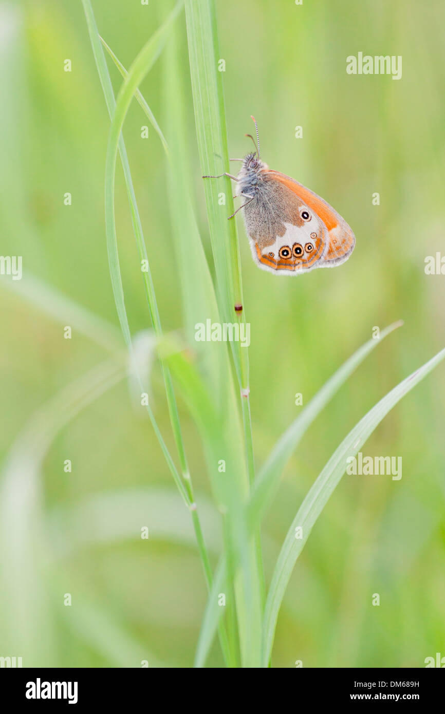 Pearly Heath (Coenonympha arcania) butterfly clinging to a blade of grass, North Hesse, Hesse, Germany - Stock Image