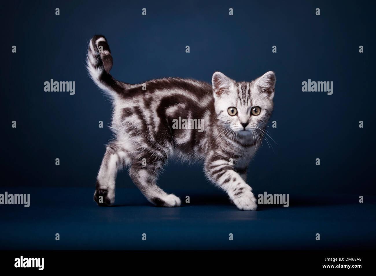 British Shorthair Cat Kitten Black Silver Tabby 3 Months Stock Photo Alamy