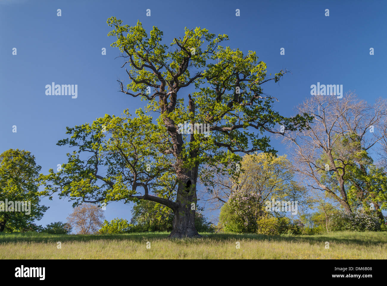 Old Pedunculate Oak tree (Quercus robur) in the landscaped park of Schloss Ettersburg Castle, Weimar, Thuringia, - Stock Image