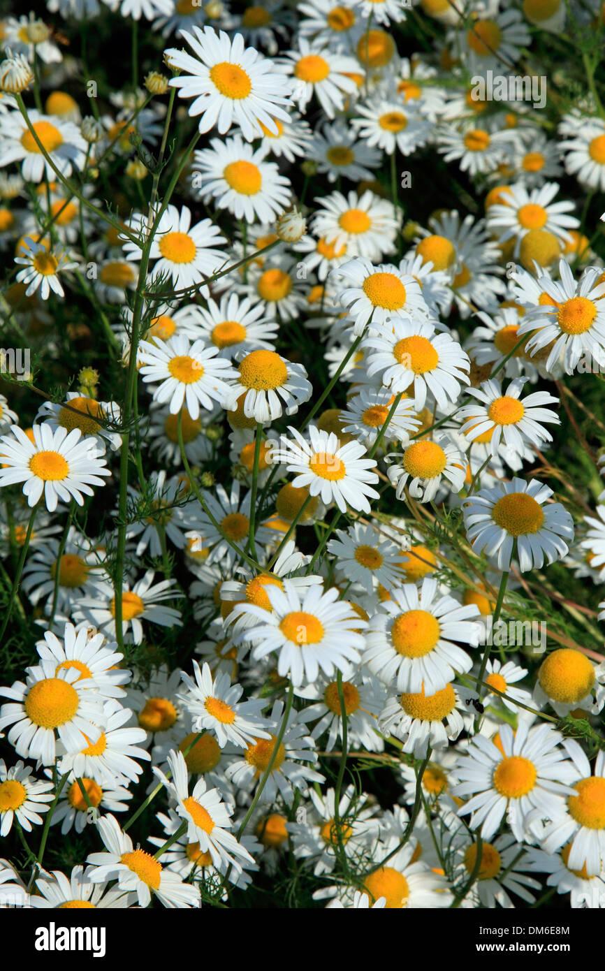Ox-eye Daisy, Moon Daisy (Chrysanthemum leucanthemum, Leucanthemum vulgare), flowers Stock Photo