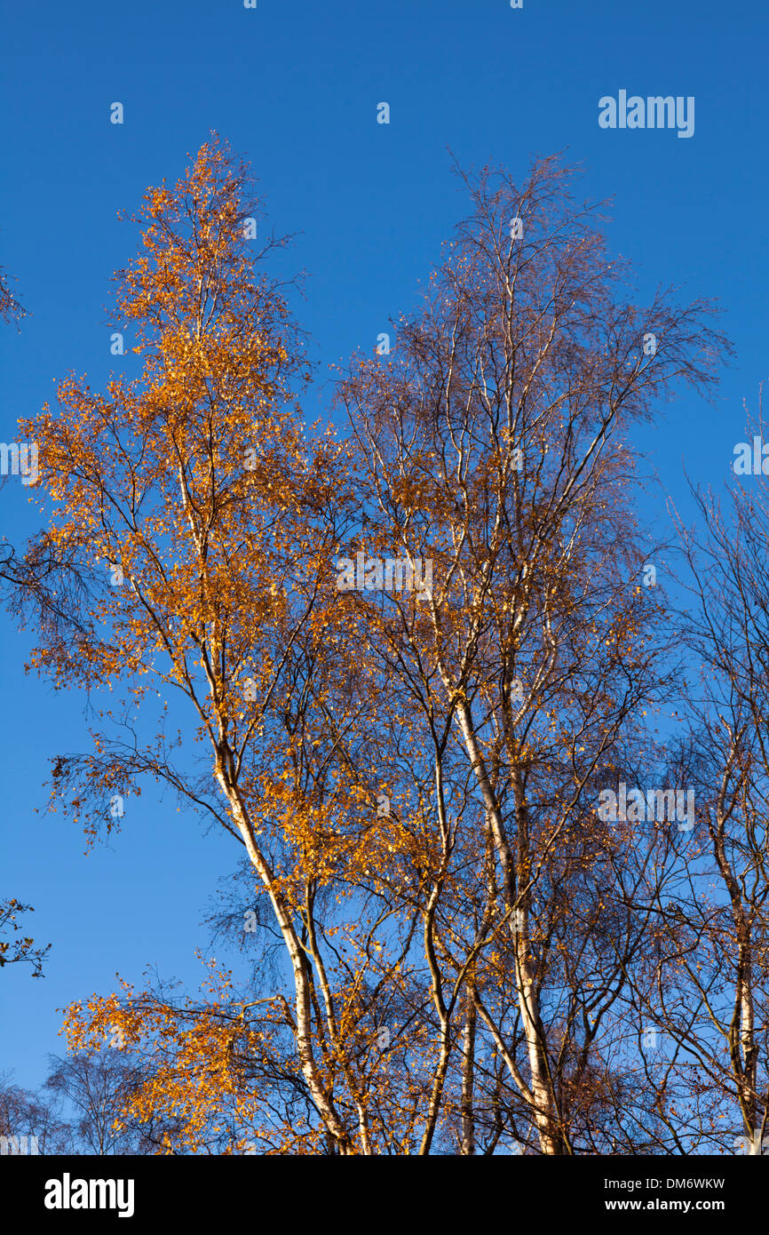 Silver birch trees with autumn leaves against a blue sky - Stock Image