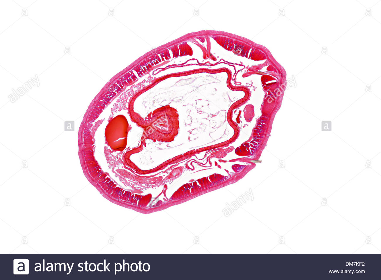 earthworm, lumbricidae, photomicrography in transmitted light bright field illumination, microtome cut, durable preparation - Stock Image