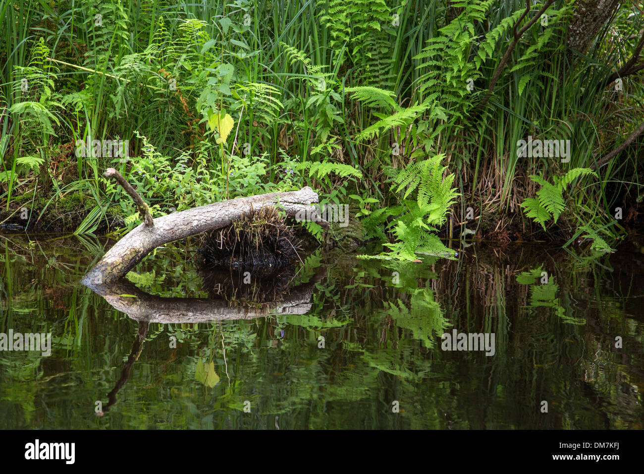 ONOCLEA SENSIBILIS, SENSITIVE FERN OR BEAD FERN, AQUATIC PLANT ON THE BANKS OF THE CONIE, AN UNTAMED RIVER FED BY THE WATER FROM A SPRING DISCHARGED FROM THE PHREATIC TABLE OF THE BEAUCE, MARBOUE, EURE-ET-LOIR (28), FRANCE - Stock Image