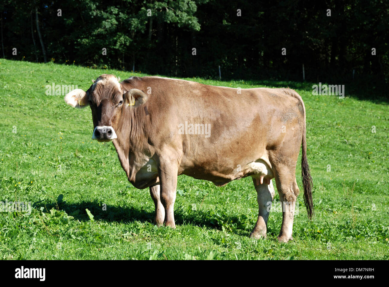 Dairy cow on a mountain pasture in the Allgaeu near Oberstaufen. - Stock Image