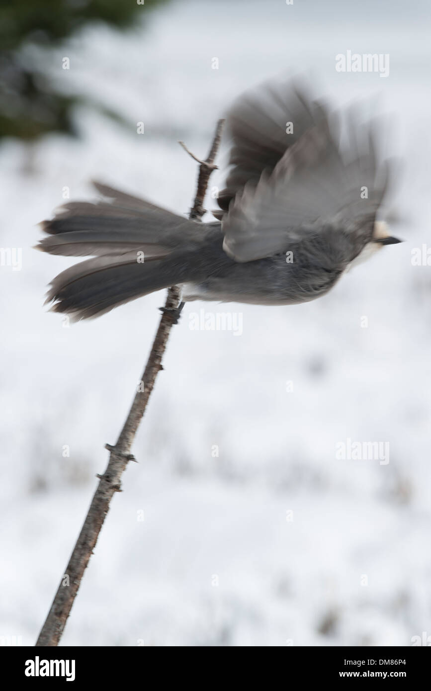 Grey Jay taking off from a stick in the snow - Stock Image