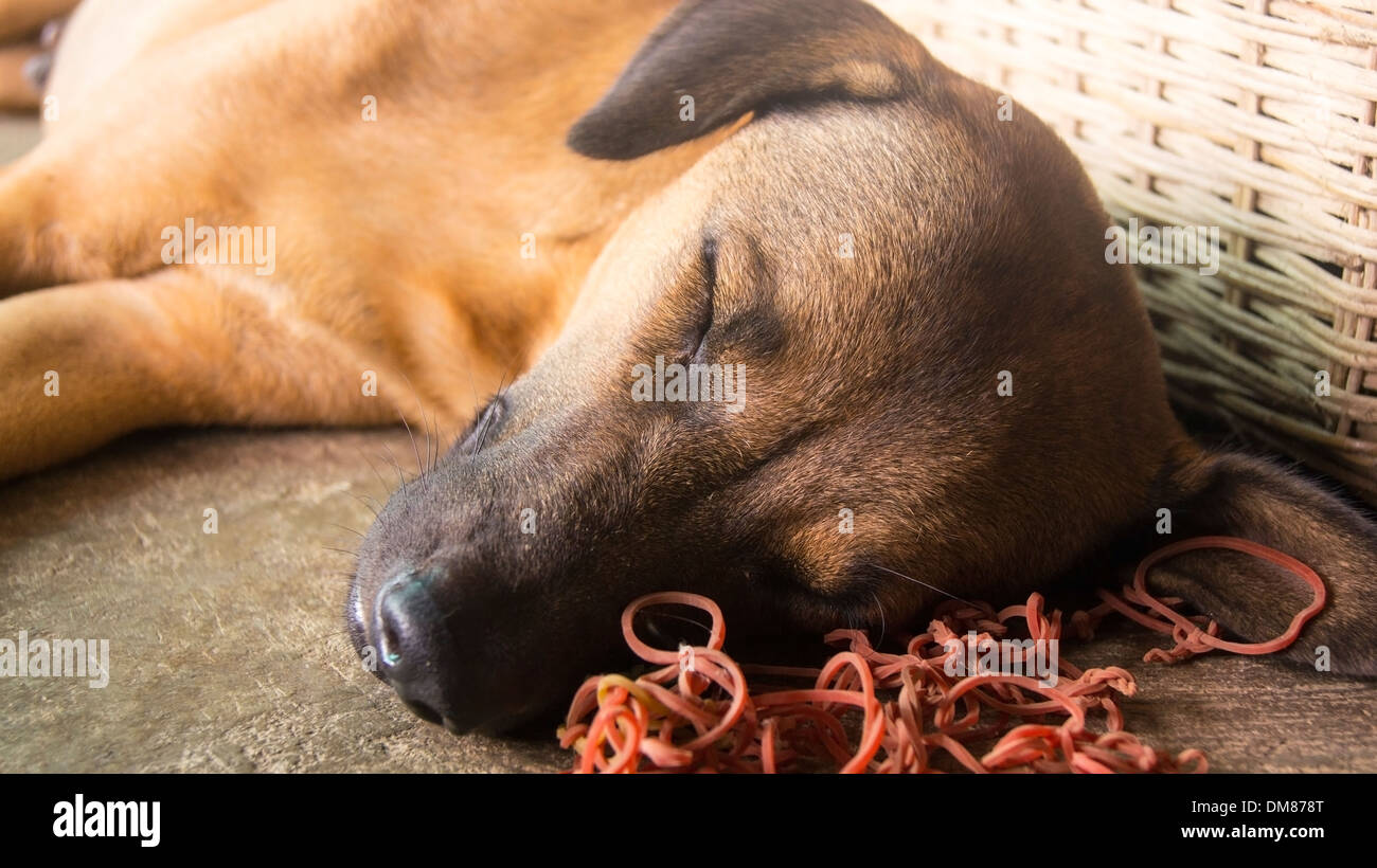 Dog asleep in heat Phnom Penh Cambodia South East Asia - Stock Image