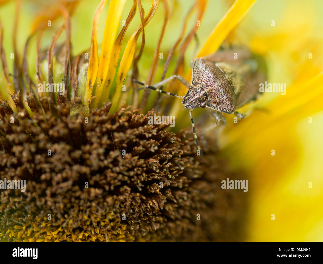True bug on a yellow aster - Stock Image