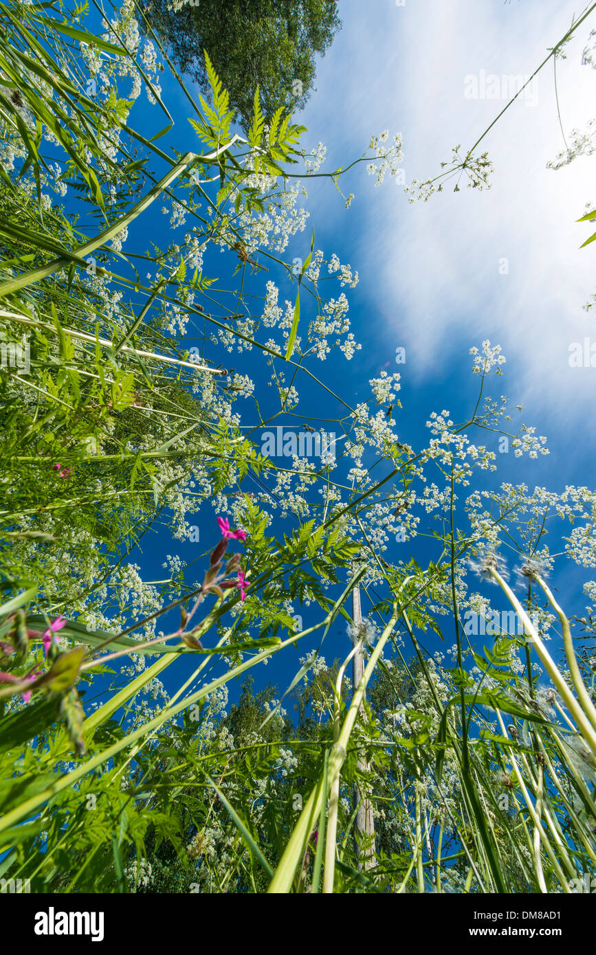 Flowers, grass and weed seen from below with wide angle - Stock Image