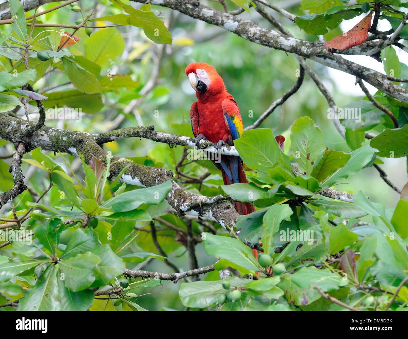 A Scarlet Macaw (Ara macao) feeding on the fruit, almendra, of an almond tree (Terminalia catappa), almendro. Corcovado - Stock Image