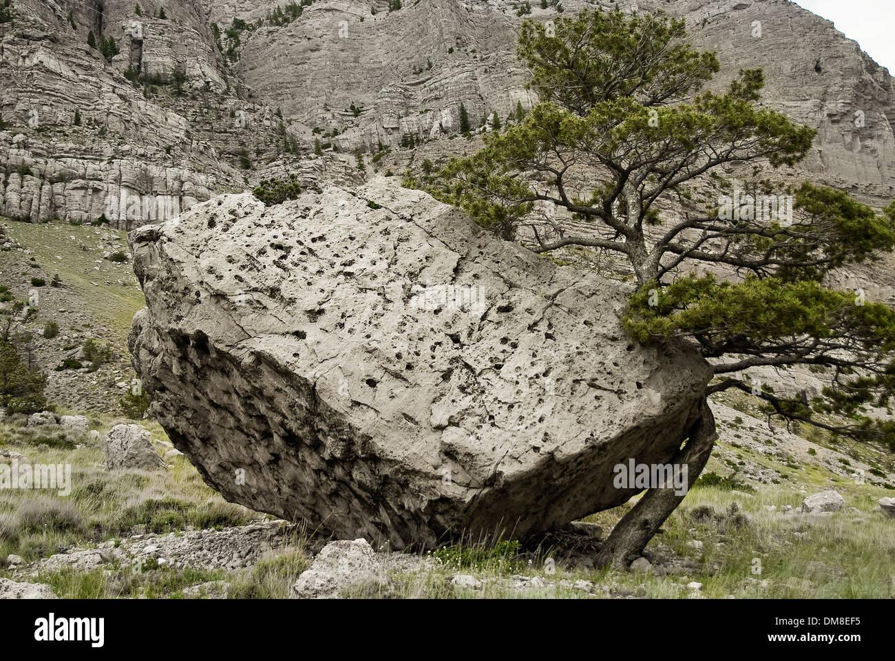 Tree growing around a rock - Stock Image