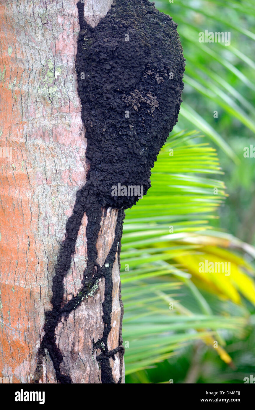 A termites' nest built on a tree trunk with covered trails to protect the termites from predators. - Stock Image