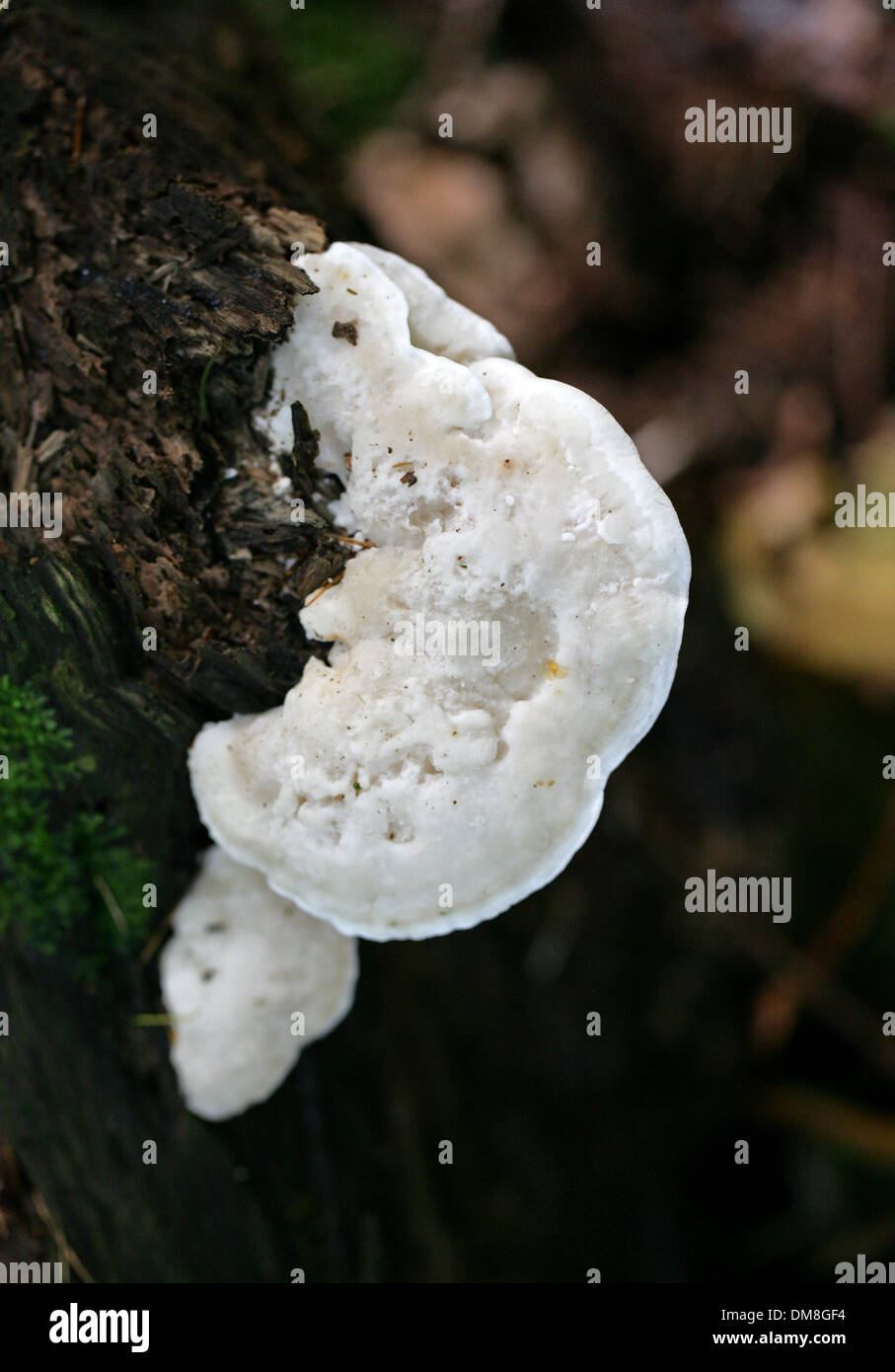 Bitter Bracket, Postia stiptica, Fomitopsidaceae, Syn. Tyromyces stipticus. A White Bracket Fungus that Grows on Dead Conifers. - Stock Image