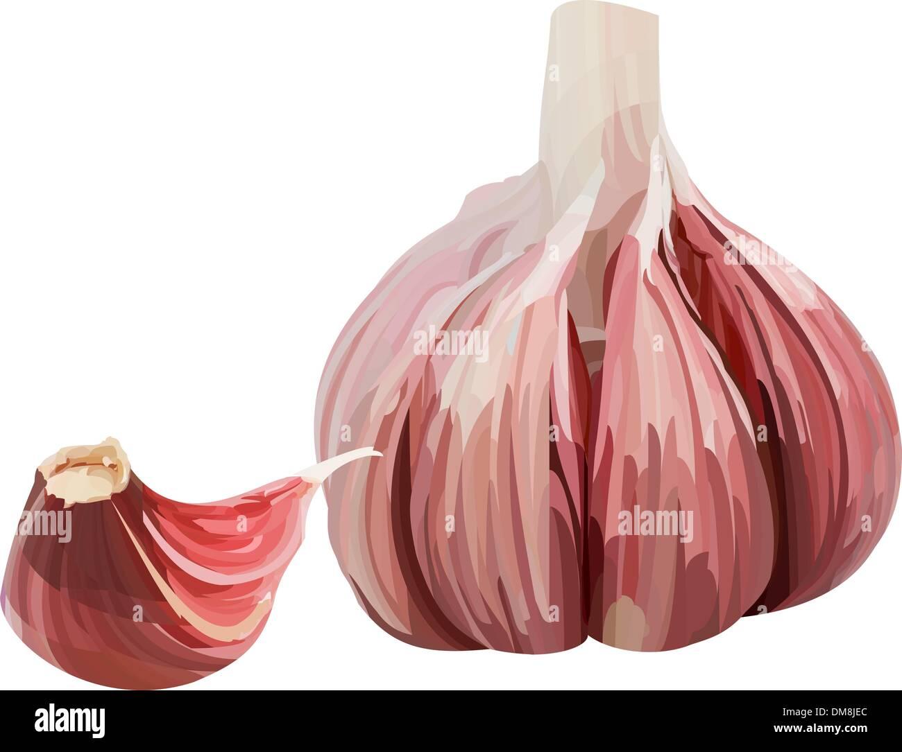 Vector garlic. - Stock Vector