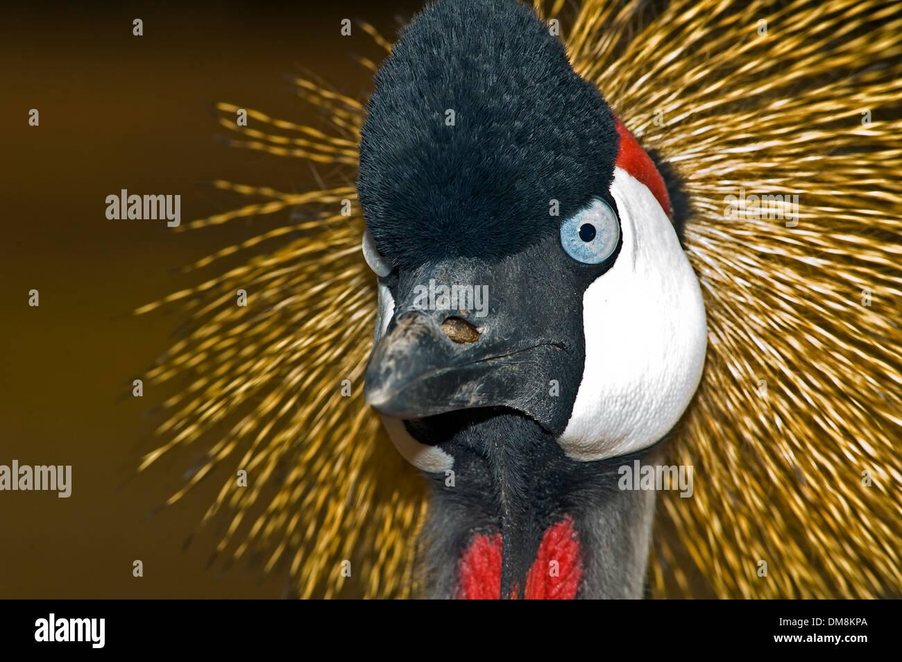 Grey Crowned Crane (Balearica regulorum), Head Stock Photo