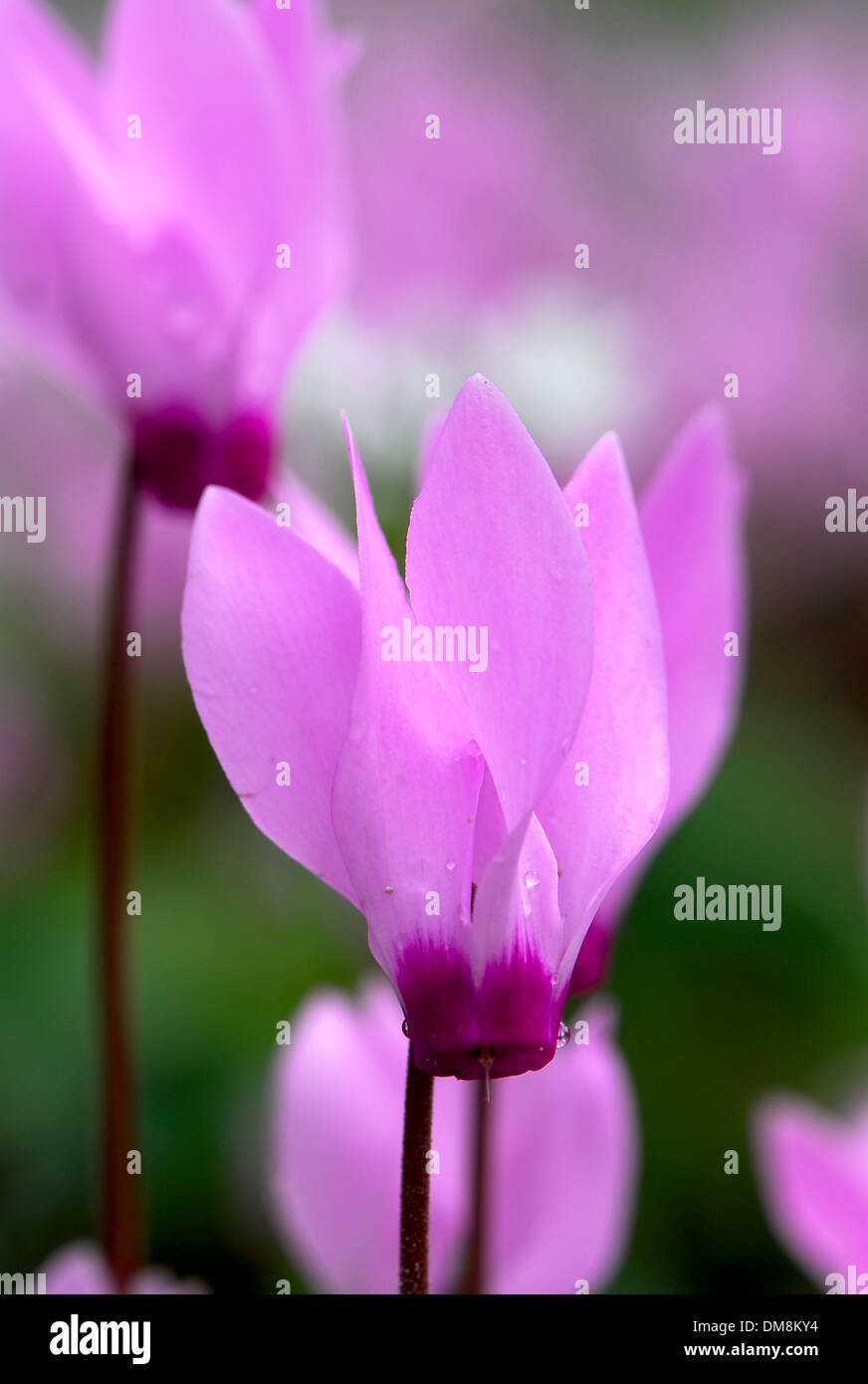 Cyclamen  in the wild - Stock Image
