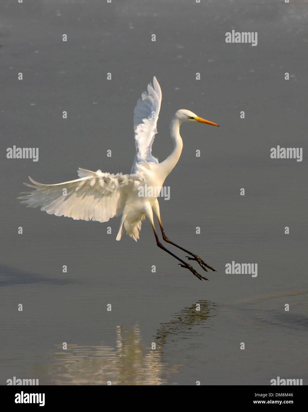 Great egret ( Ardea alba) landing in water - Stock Image