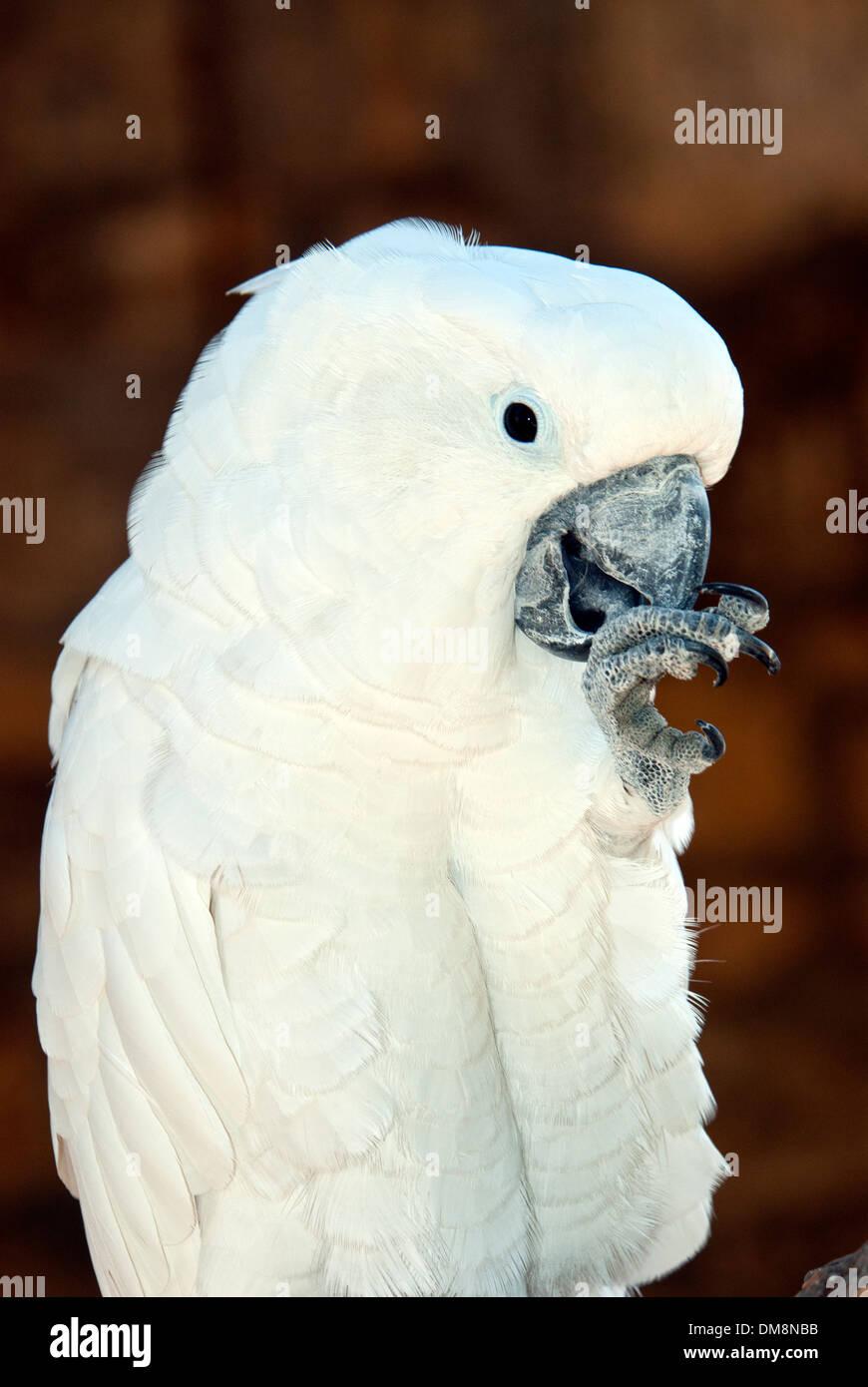 Goffin's Cockatoo , Cacatua goffiniana, Tanimbar cackatoo - Stock Image