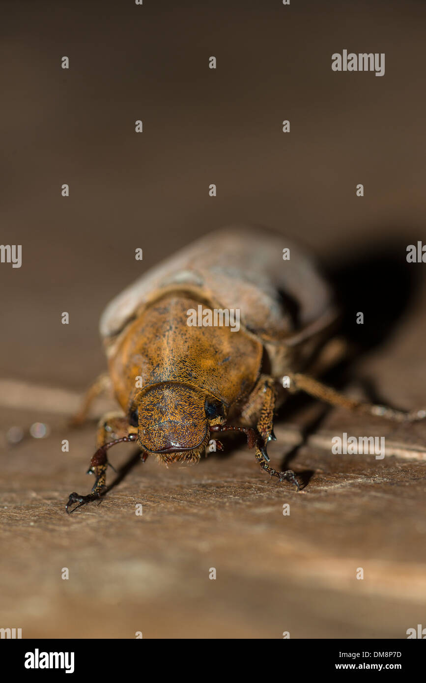 Female coconut beetle crawling on the floor - Stock Image