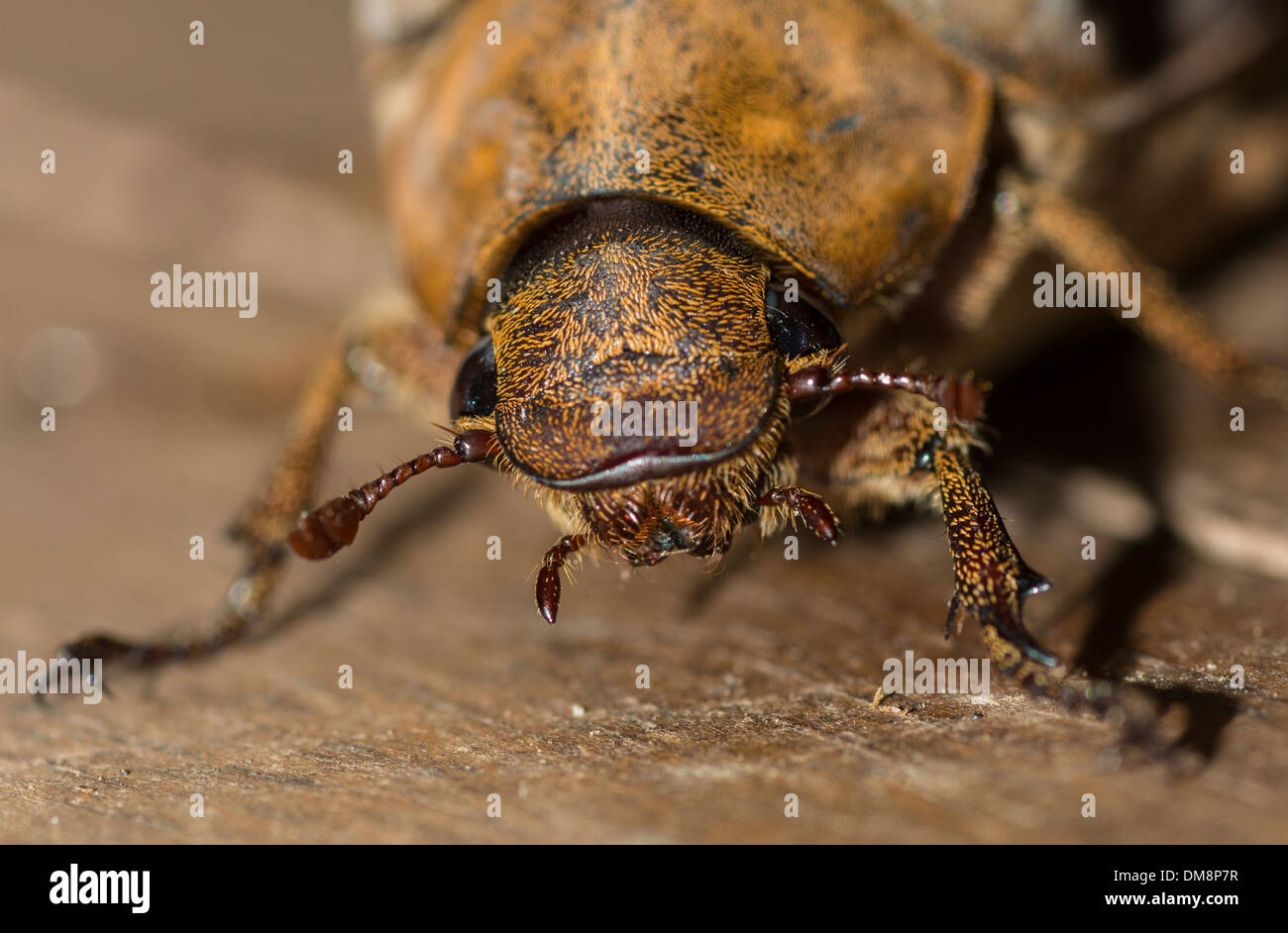 Close-up of a female coconut beetle crawling on the floor - Stock Image