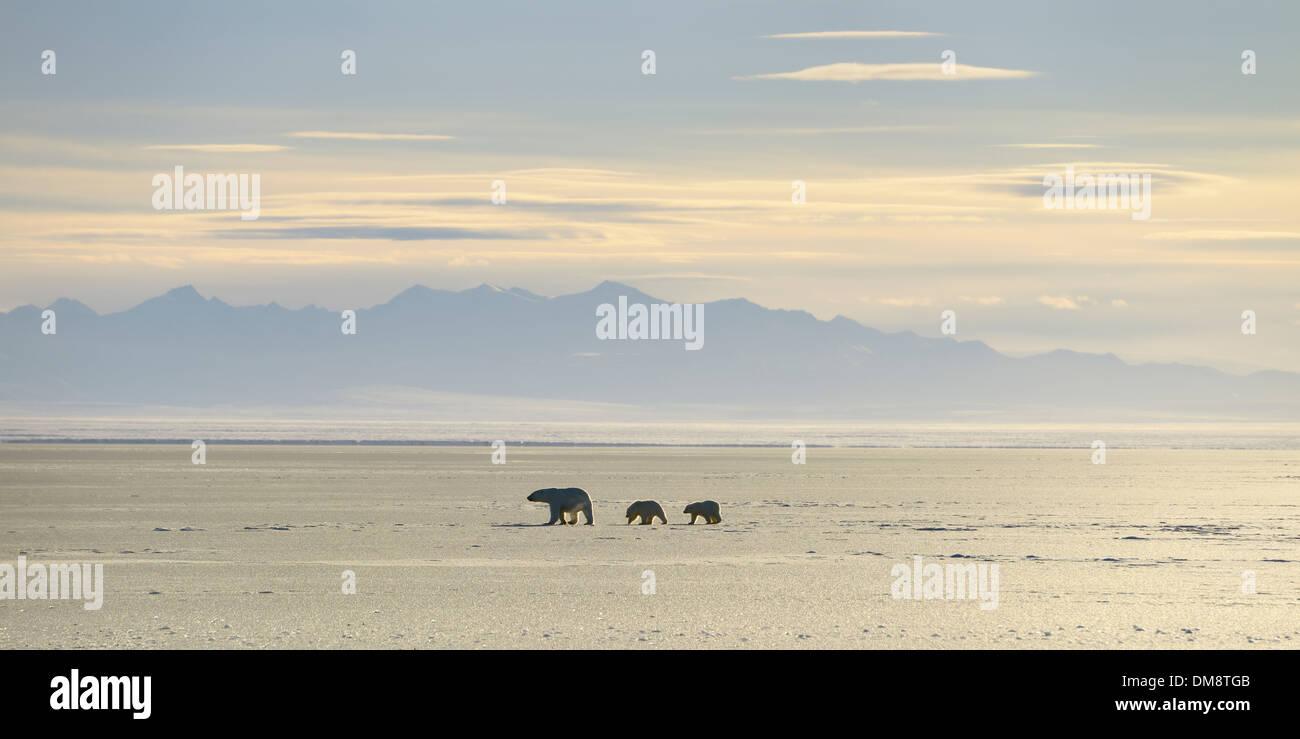 Polar Bear sow and cubs silhouetted on Kaktovik Lagoon Arctic Ocean Alaska with Brooks Range mountains - Stock Image