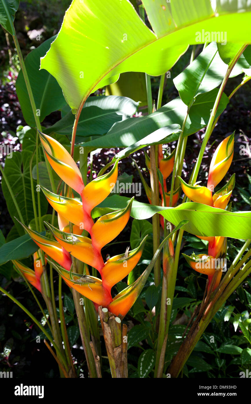 Heliconia at Hawaii Tropical Botanical Garden, on scenic loop of Highway 19, north of Hilo, and on Onomea Bay. - Stock Image
