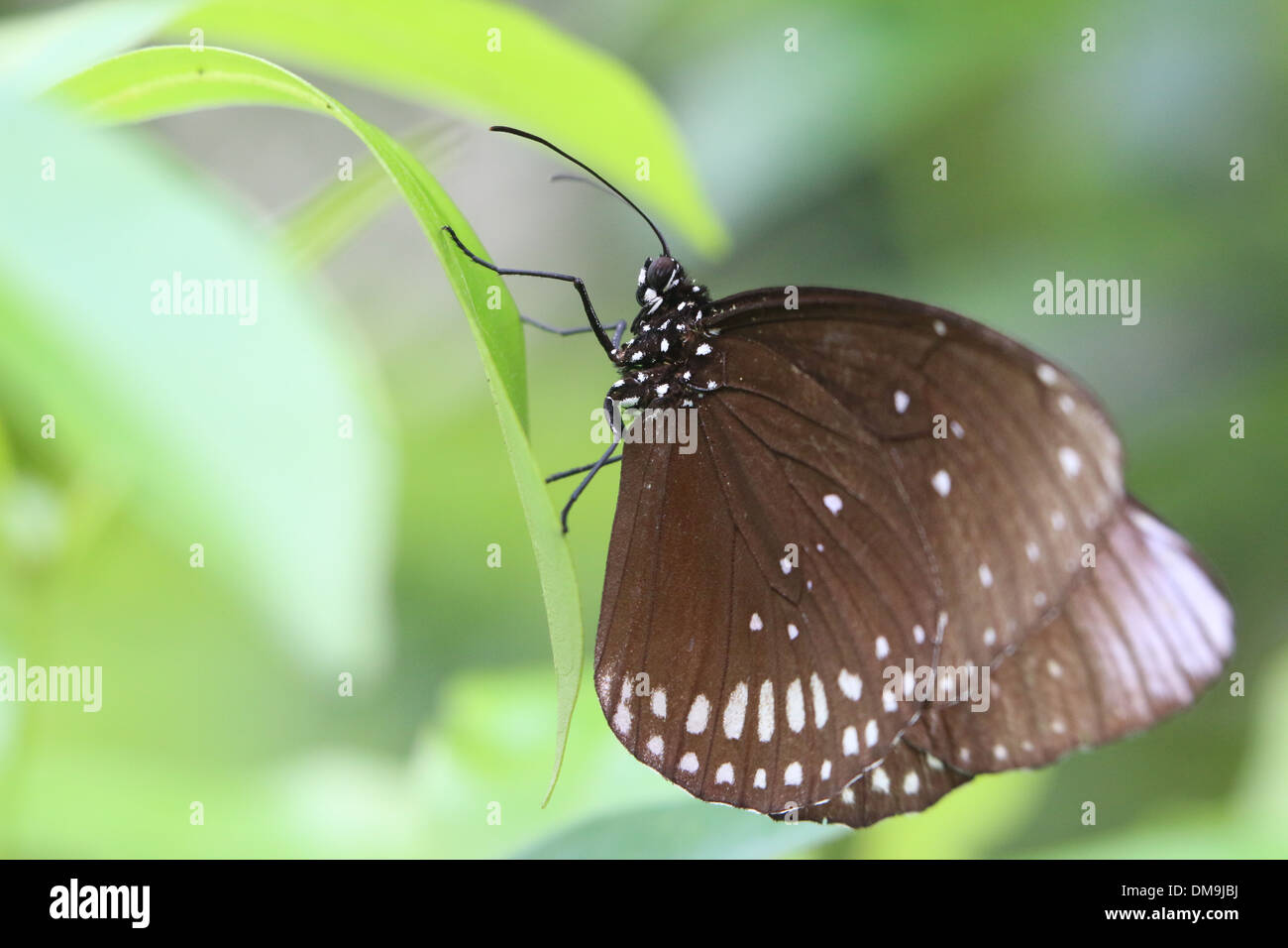 Common Crow butterfly a.k.a. Common Indian or Australian Crow ( Euploea core) with opened wings - Stock Image