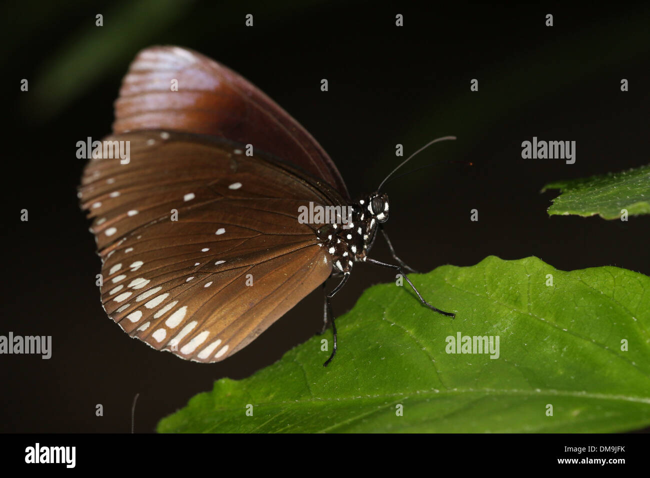 Common Crow butterfly a.k.a. Common Indian or Australian Crow ( Euploea core) - Stock Image