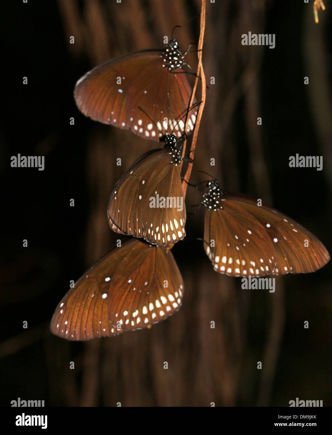 Group of four Common Crow butterflies (Euploea core) sleeping and resting at night - Stock Image