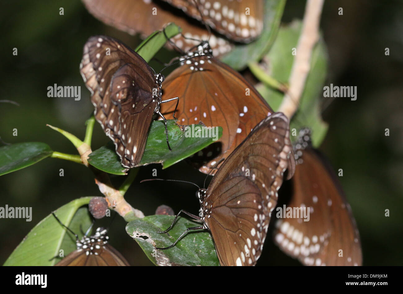 Group of Common Crow butterflies (Euploea core) sleeping and resting at night - Stock Image