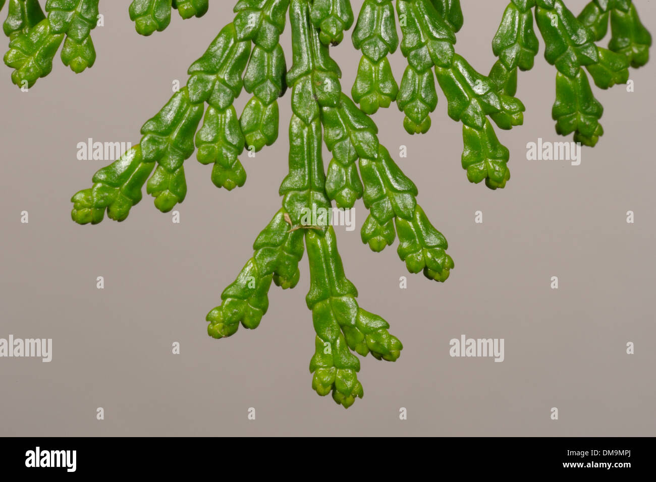 Hinoki Cypress, Chamaecyparis obtusa, Leaves - Stock Image