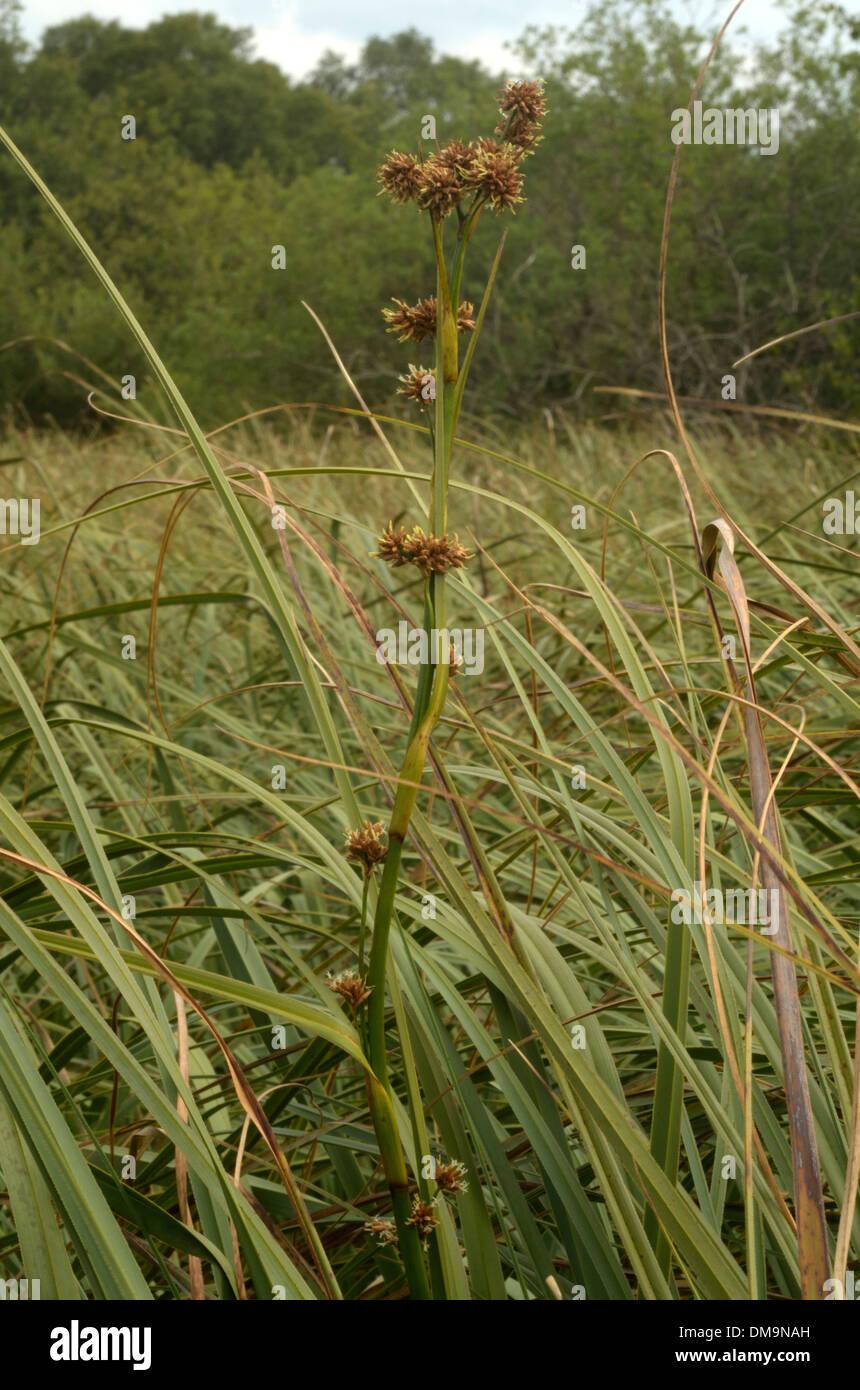 Great Fen-sedge, Cladium mariscus - Stock Image
