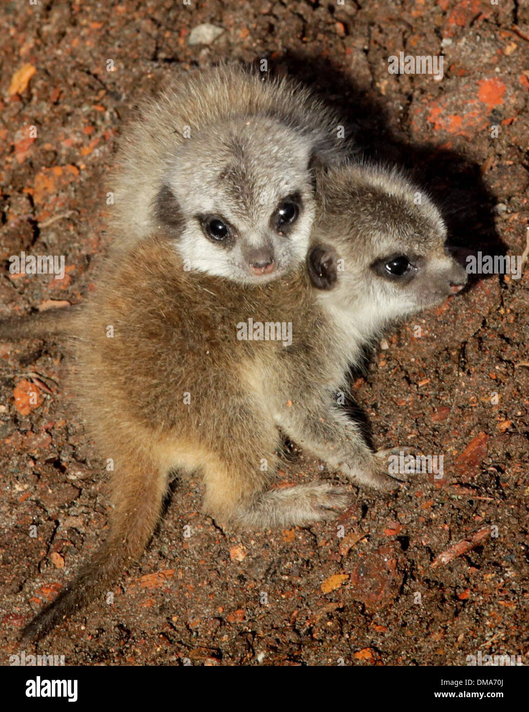 Meerkat cubs which have been born to mum Annie. Nov 12 2013. The pups believed to be a male and female are around two weeks old. - Stock Image