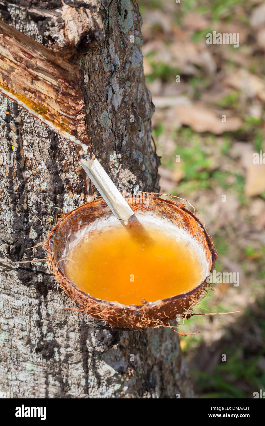 Latex sap dripping out of a tree in a rubber plantation, Thailand - Stock Image