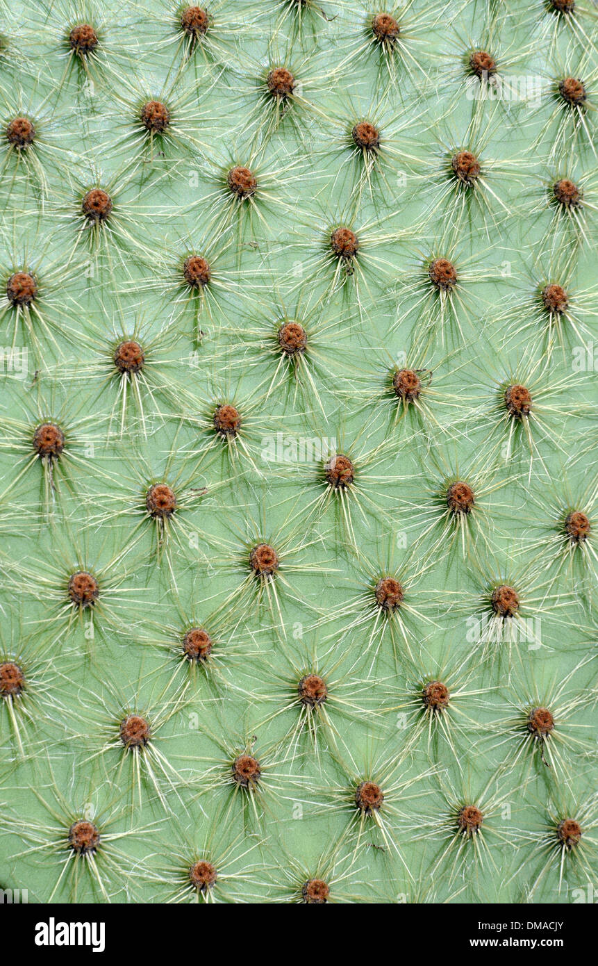 Pattern of Cactus Thorns or Spines - Stock Image