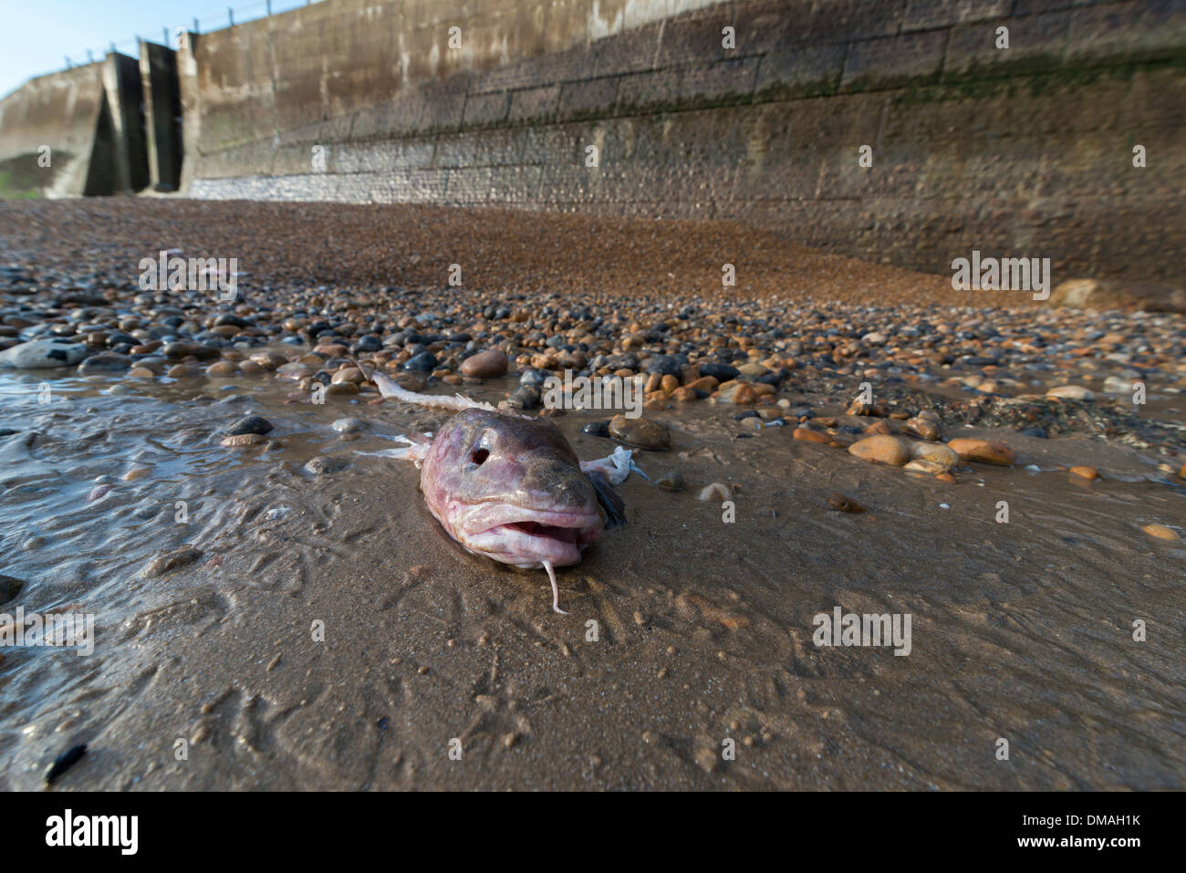 A gutted cods head washed up on the beach at Hastings, East Sussex. GB - Stock Image