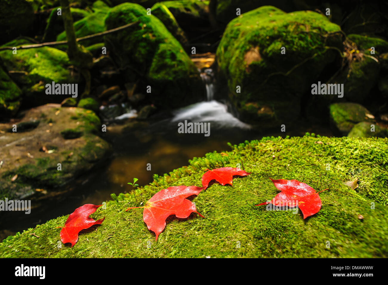 Maple leaf on moss covered rocks near waterfalll in rains forest. - Stock Image