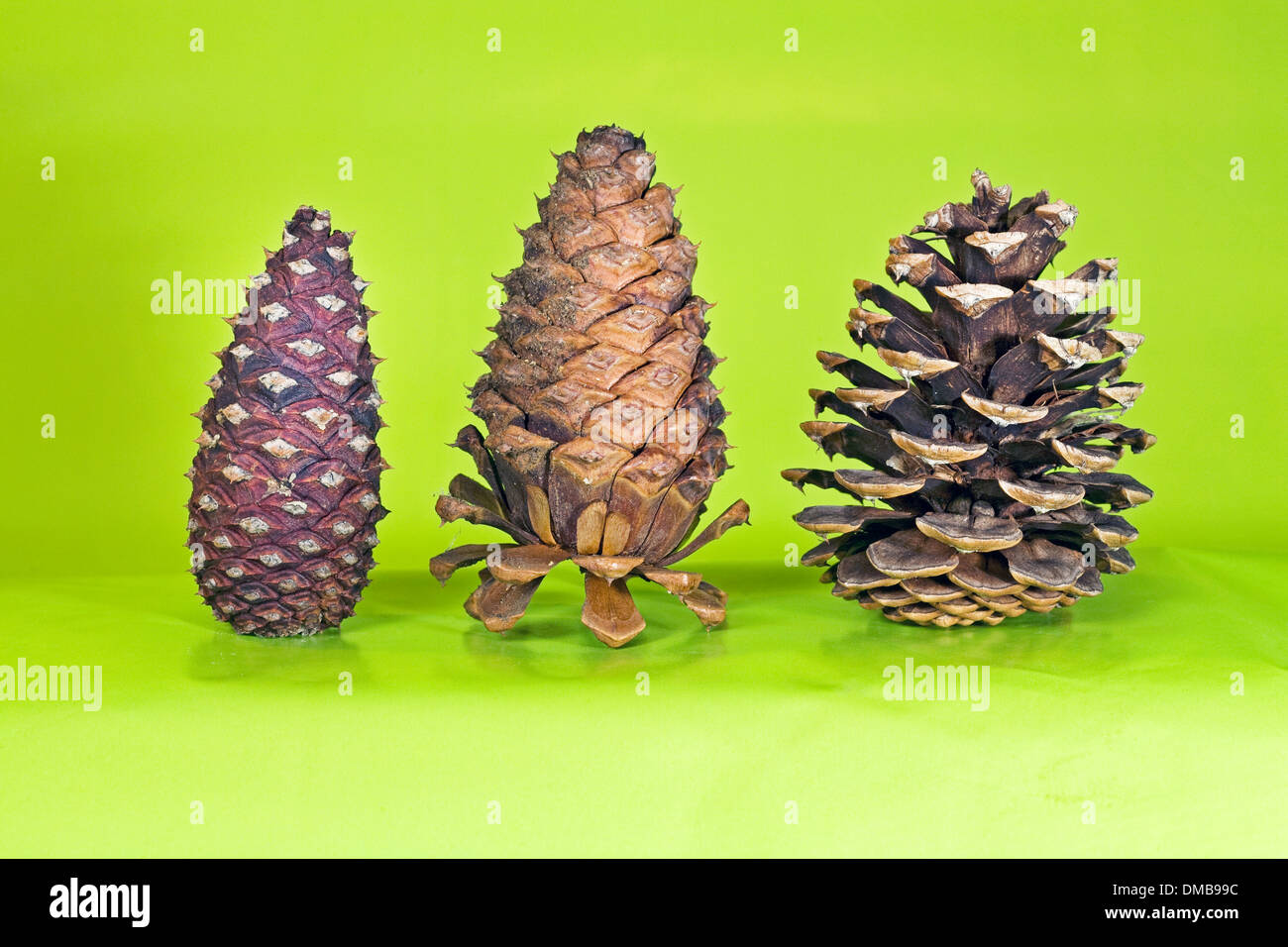 Three states of a ponderosa pine cone in seeding mode - Stock Image
