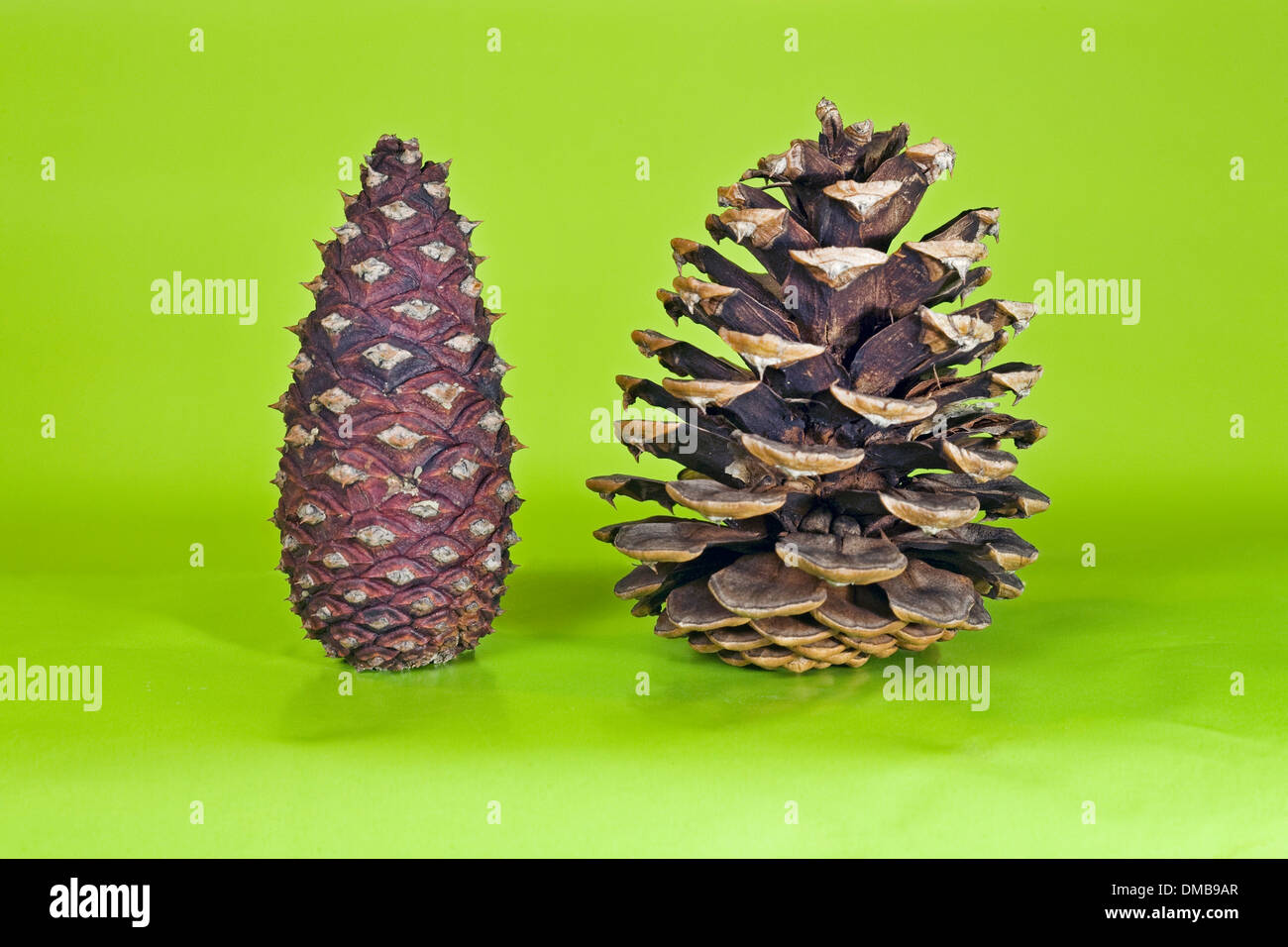 Pine cones from a ponderosa pine tree, one fully closed, one seeding - Stock Image