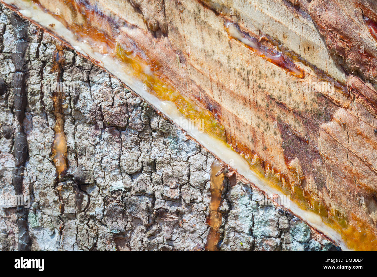 Closeup of a cut rubber tree, Thailand - Stock Image
