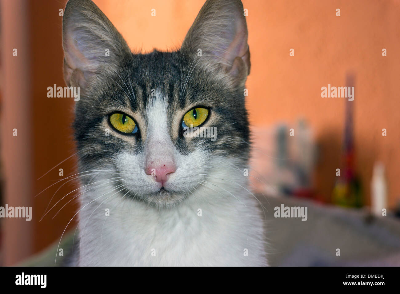 Brown and white cat with yellow eyes and large ears looking at camera - Stock Image